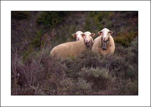 Spanish Sheep 4