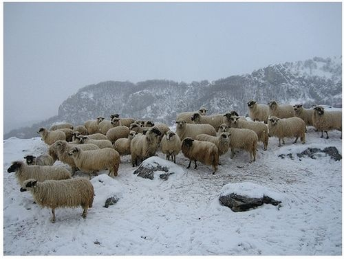 Bosnia & Herzegovina Flock in Winter lg