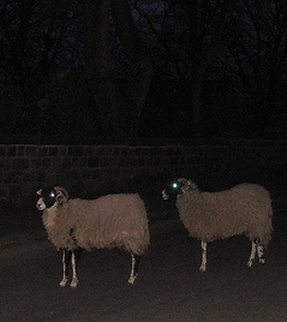 Nightime Sheep