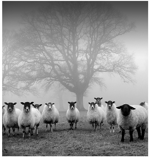 Sheep & Misty Tree I - Threadweavle on Flickr