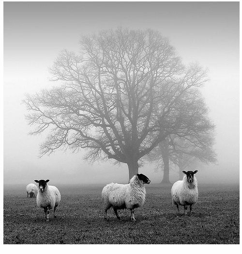 Sheep & Misty Tree II - Threadweavle on Flickr