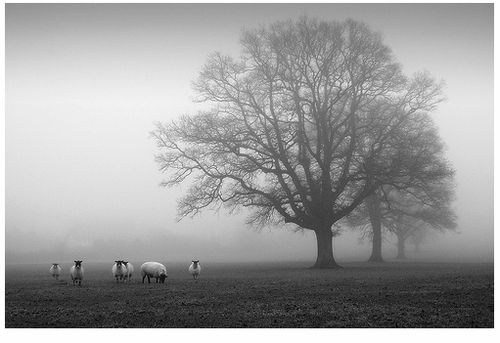 Sheep & Misty Tree III - Threadweavle on Flickr