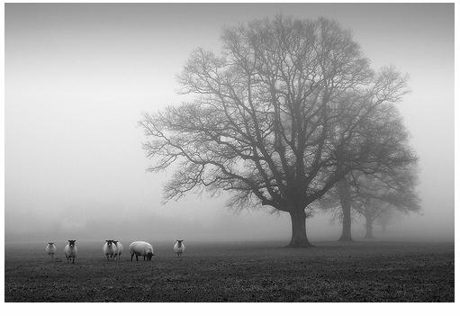 Sheep & Misty Tree III - Threadweavle on Flickr