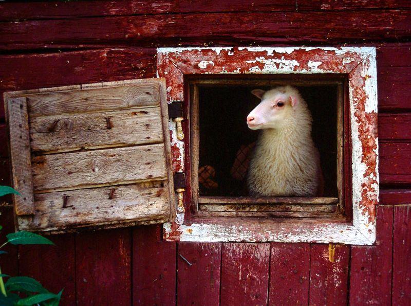 Lamb in barn window 3 - Finnish
