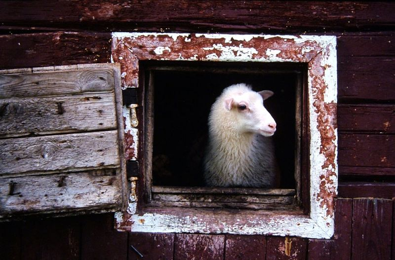 Lamb in barn window 4 - Finnish