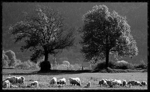 2arbres_et_des_moutons Suisse