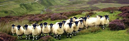 Scottish Blackface Ewes