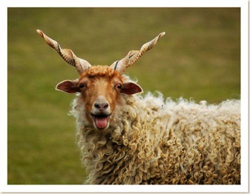 Racka Ewe