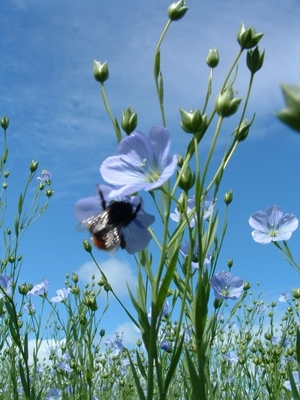 Bee_flaxflower_sm