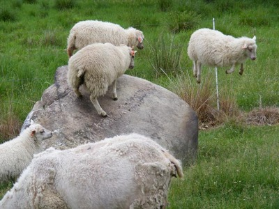 Jager_farm_leaping_sheep_0607