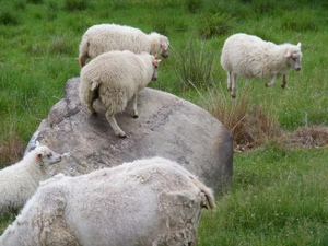 Jager_farm_leaping_sheep_0607_2