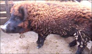 Pig_sheep