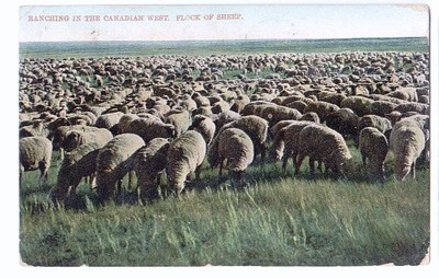 Canadian_flock_3