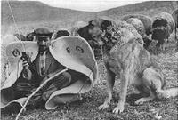 Anatolian_shepherd_dog