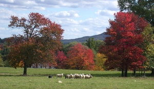 Autumnal_sheep_amherst_1004_3