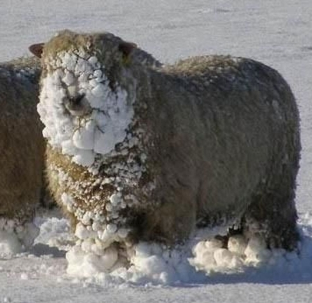 Snow_sheep_1cropped