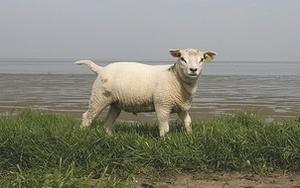Texel_ram_lamb