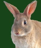 Brown_bunny_green_back_cropped
