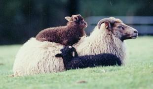 Icelandic_ewe_2_lambs